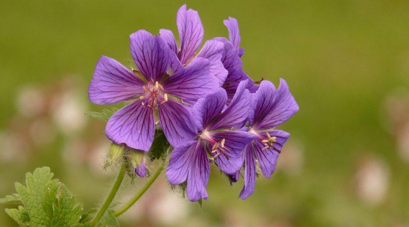 planten die de muggen afweren en voorkom geprikt te worden