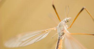 Resistente malariaparasiet verspreidt zich.